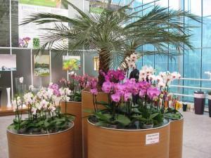Phalaenopsis na akcii