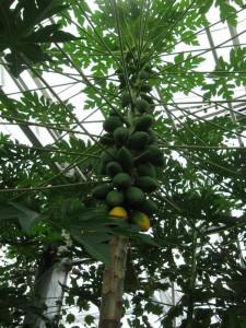 Strom papáje