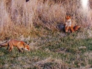 Aj líšky sa hrajú...