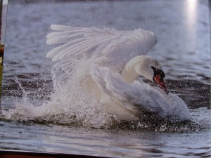 Labuť pri pristátí