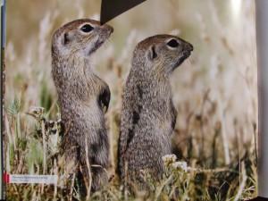 Poľné hlodavce – sysle pasienkové