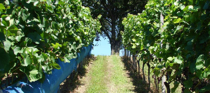 V krátkosti o integrovanom vinohradníctve