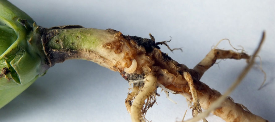 Kvetárka kapustová – škodca repky v jesennom období