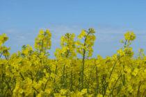 OCHRANA RASTLÍN: Jesenná ochrana repky olejnej proti škodcom bez použitia moridiel