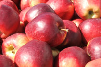 Čelarevské jablká chutia Rusom