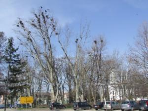 Veľký kŕdeľ vrán v parku v strede Alibunára strpčuje život občanom