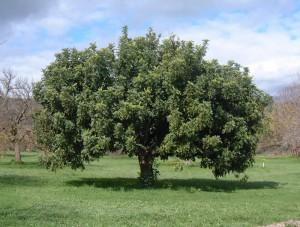 Rohovník obyčajný – strom
