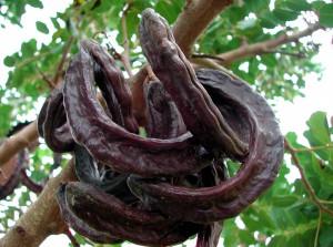 Plody rohovníka
