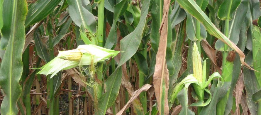 Banát: Páľava a sucho ohrozujú porasty