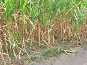 Kukurice v jánošíckom chotári v chúlostivom stave (Foto: V. Hudec)