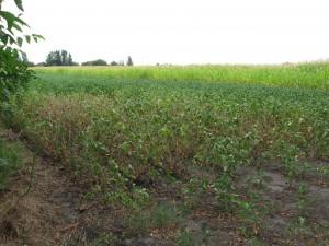 Následky tropických teplôt a nedostatku vlahy sú viditeľné aj na sóji (Foto: V. Hudec)