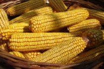 Nízka cena kukurice