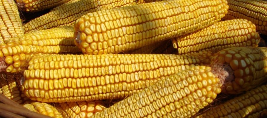 DO POZORNOSTI: Výkup merkantilnej kukurice