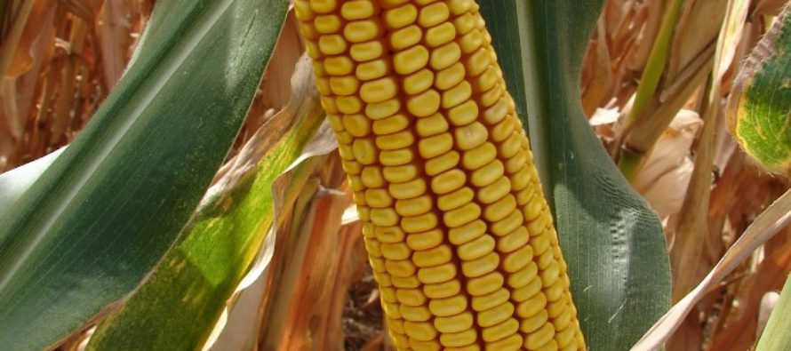 Jesenné dažde brzdia zber kukurice