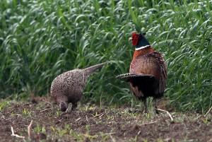 Na vzchádzajúcich porastoch poľných plodín sú títo bažanti škodliví