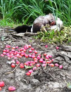 Aj toto sa stáva na našich poliach – uhynutá divá kačica po konzumácii namoreného osiva