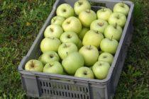 Skladované ovocie musíme pravidelne kontrolovať