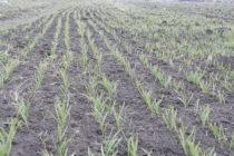 Pšenica je v dobrom stave, porasty sú dobre zakorenené