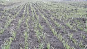 Porasty pšenice rovnomerne napredujú na parcelách, kde sa krátko po sejbe vyskytli zrážky