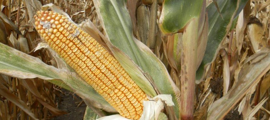Z PRODUKČNEJ BURZY: Ceny poľnohospodárskych komodít stabilné