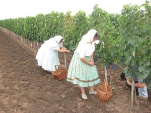 Na komisiu, ktorá posudzovala vzhľad vinohradov zapôsobil aj vinohrad Ivana Plevu, ktorý vlani uvítal aj účastníkov hroznovej oberačky