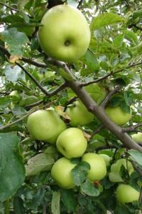 jablonplody