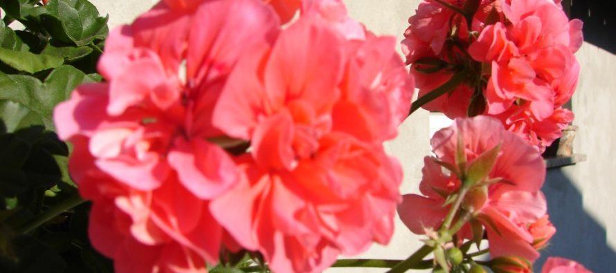 Rozmnožovanie rastlín odrezkami