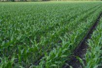 Z PRODUKČNEJ BURZY: Zdraželi kukurica a pšenica