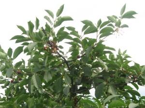 Plody na vrškoch stromov vrany už úplne popásli. Zostali iba stopky a kvocky, alebo poškodené višne