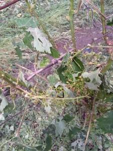 Škody aj vo vinohradoch