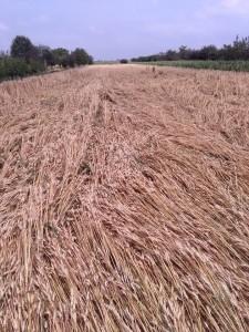 Pšenica pováľaná, zrnká na zemi