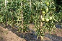 Počasie vyhovuje šíreniu hubových chorôb zeleniny