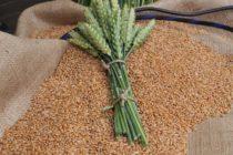Z PRODUKČNEJ BURZY: Nižšia cena pšenice