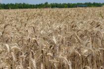 Pšenica v silách čaká na lepšiu cenu