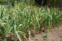 Jesenná výsadba cesnaku