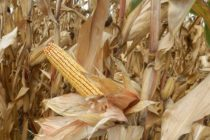 Z PRODUKČNEJ BURZY: Padá cena minuloročnej kukurice