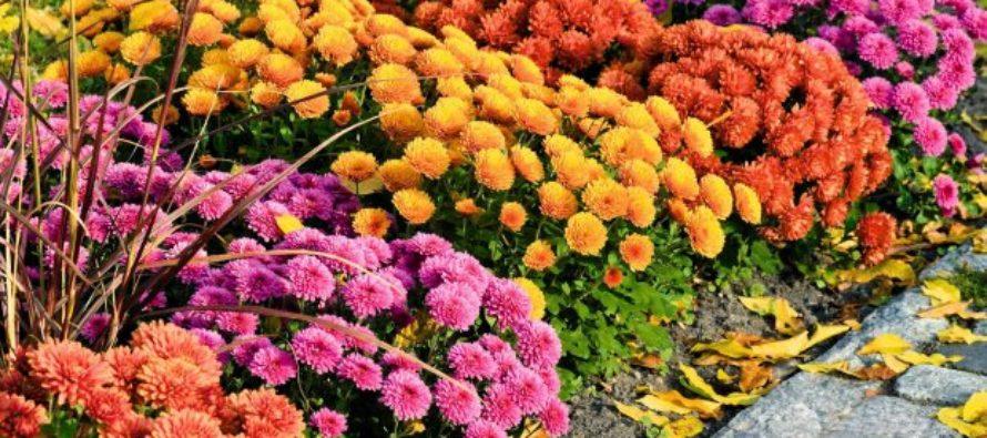 Chryzantémy vždy zdobia Pamiatku reformácie, sviatok Všetkých svätých a Pamiatku zosnulých