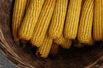 Z PRODUKČNEJ BURZY: Kukurica zdrahla, pšenica zlacnela