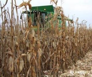 Zber kukurice vKovačickej obci je na 99 percent ukončený