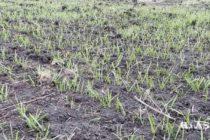 V KOVAČICKEJ OBCI: Mimoriadne dobrý pestovateľský rok