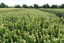 DO POZORNOSTI PESTOVATEĽOV: Intervenčný výkup pšenice