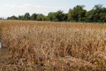 Z PRODUKČNEJ BURZY: Sója z novej úrody 49 dinárov
