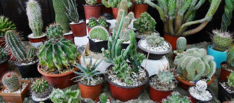 Výstava kaktusov a sukulentov v Kysáči
