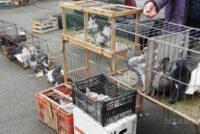 V KOVAČICI: 53. výstava holubov a drobných zvierat