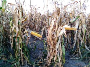 Pekné bohaté šúľky s plnými zrnami kukurice na byliach, ktoré nezvalil vietor