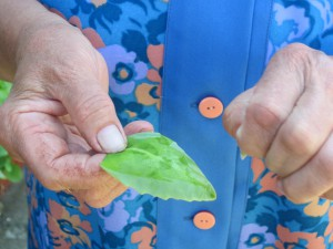 Tento druh aloe sa používa na hojenie vredov a podobných rán